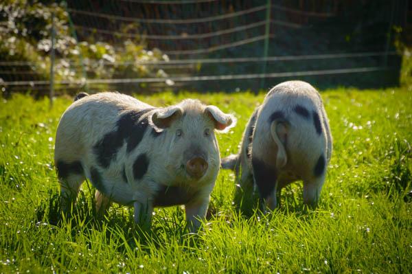 freiland schweinefleisch
